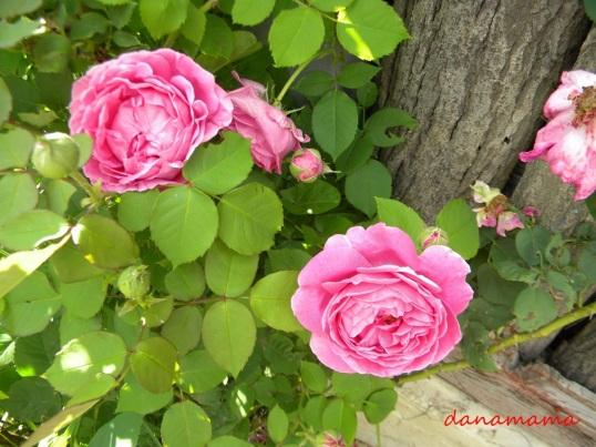 otet de trandafiri3